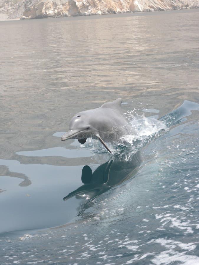 Dolfijn in Oman stock foto's
