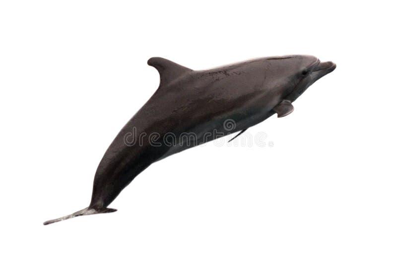 Dolfijn op witte achtergrond wordt geïsoleerd die royalty-vrije stock afbeeldingen