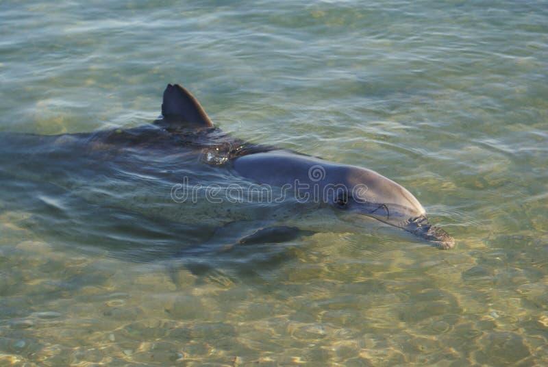 dolfijnen stock foto's
