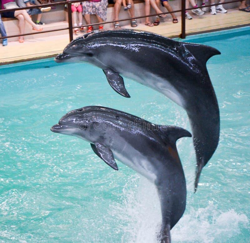 dolfijnen royalty-vrije stock foto