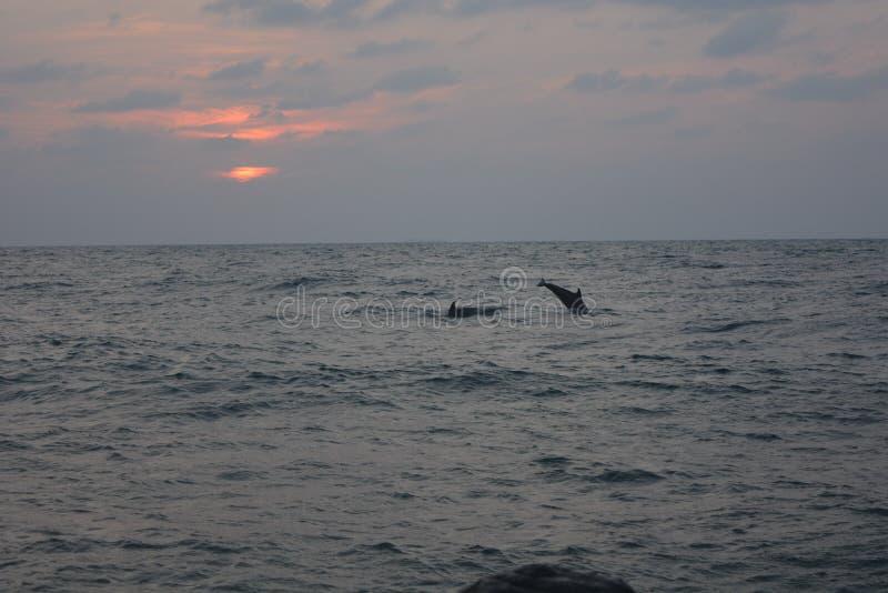 Dolfijnen bij zonsondergang bij Rood Overzees Strand Jeddah stock foto's