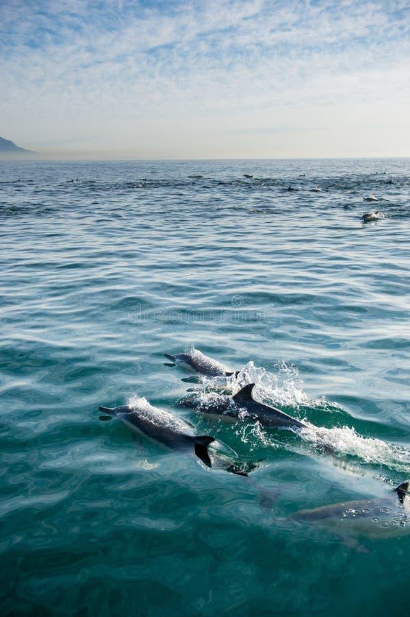 Dolfijnen, die in de oceaan zwemmen royalty-vrije stock afbeelding