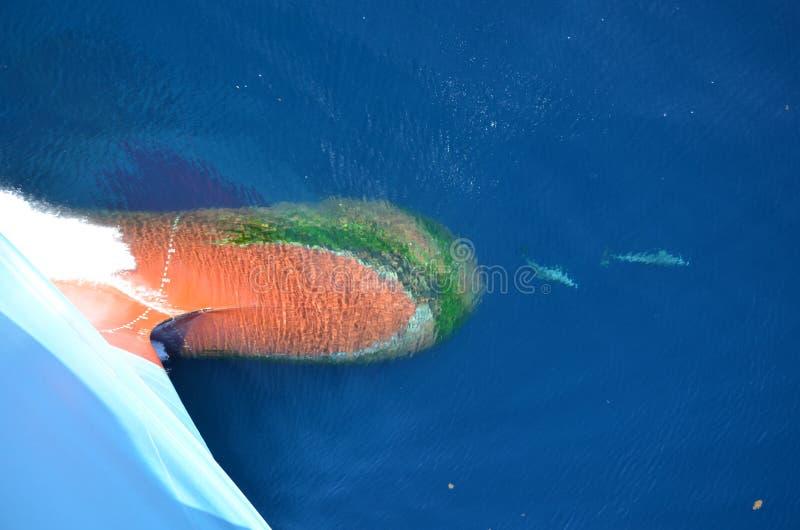 Dolfijnen die in de voorzijde van bolvormige boog van het vrachtschip spelen stock afbeelding