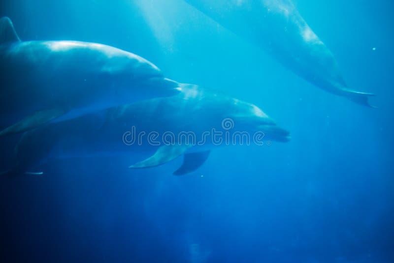 Dolfijnen die in een aquarium zwemmen stock foto's