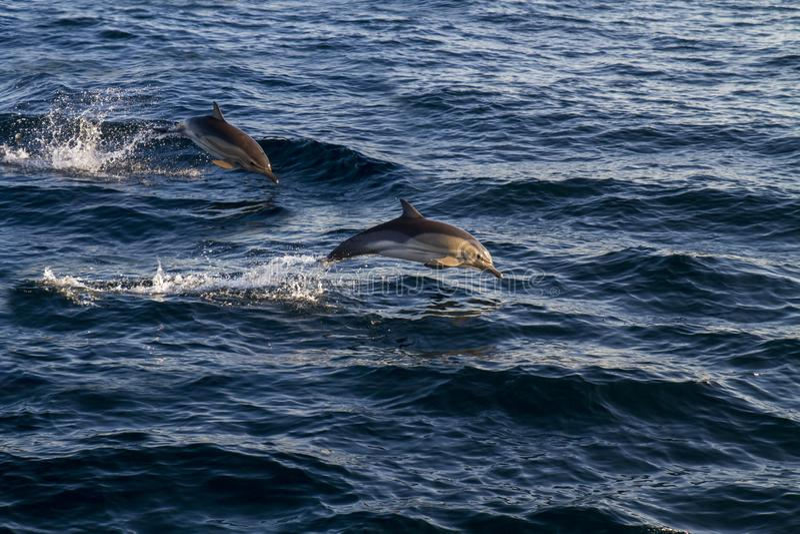Dolfijnen die over de golven springen stock afbeeldingen