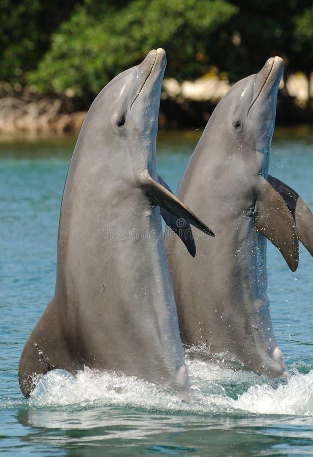 Dolfijnen die zich op staarten bevinden stock afbeeldingen