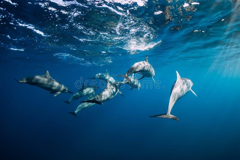 Dolfijnen familie zwemt in de blauwe oceaan royalty-vrije stock foto's