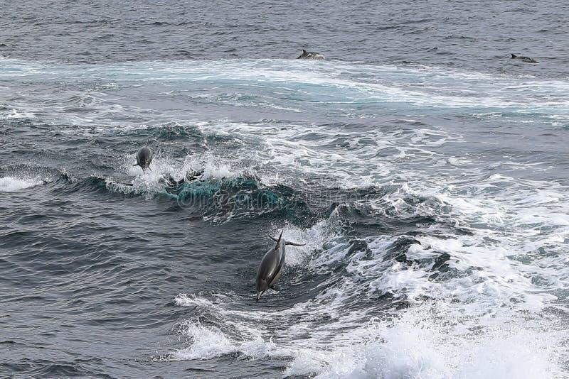 Dolfijnen in Golven royalty-vrije stock fotografie