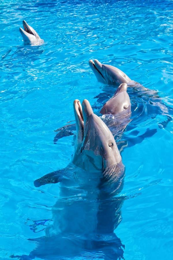 Dolfijnen in Miami Seaquarium stock foto's