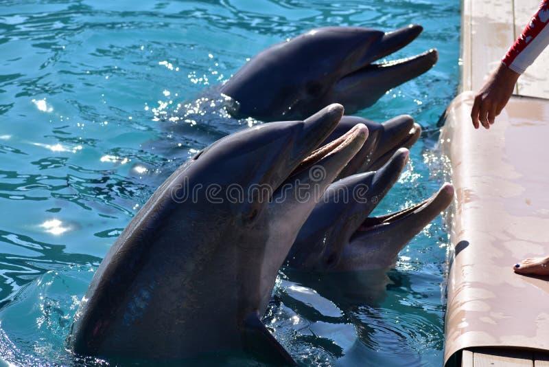 Dolfijnen in Miami Seaquarium stock fotografie