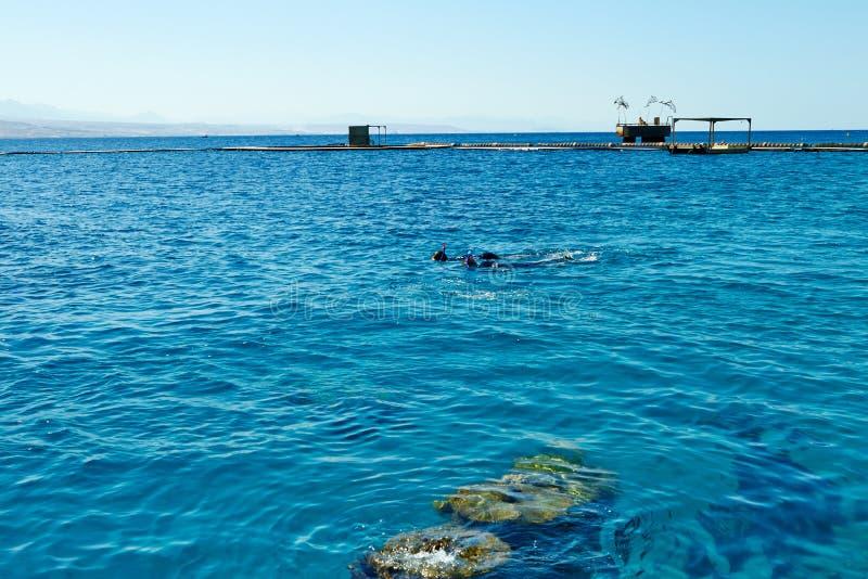Dolfijnertsader op het Rode Overzees stock afbeeldingen