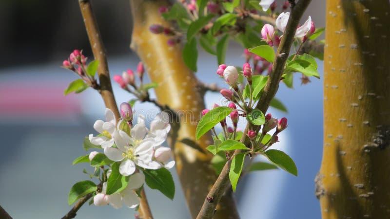 Dolgo Apple blomningar på våren arkivfoton