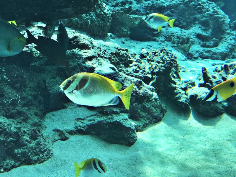 Doliatus de Siganus ou spinefoot barrado ou rabbitfish rabiscado ou rabbitfish Lápis-listado ou cavala espanhola barrada fotos de stock