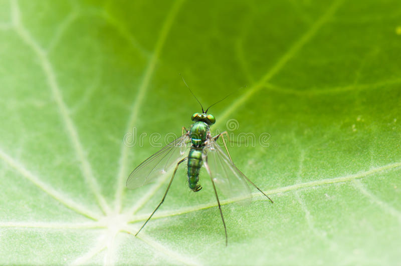 Dolichopodidae immagini stock