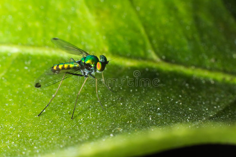 Dolichopodidae on green leaf stock photography