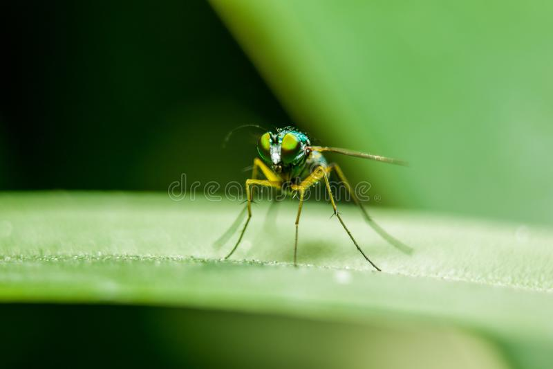 Dolichopodidae on the leaves are small, green body stock photography