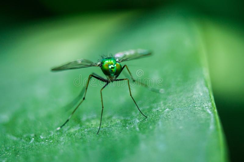 Dolichopodidae on the leaves are small, green body stock image