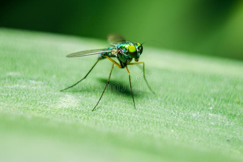 Dolichopodidae on the leaves are small, green body royalty free stock image