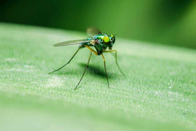 Dolichopodidae na liściach jest małym, zielonym ciałem, obraz royalty free