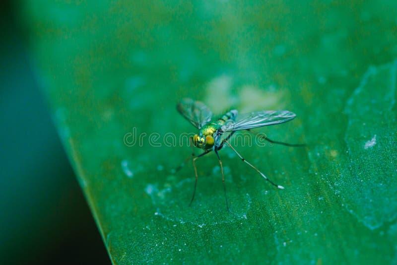 Dolichopodidae nas folhas ? corpo pequeno, verde imagens de stock royalty free