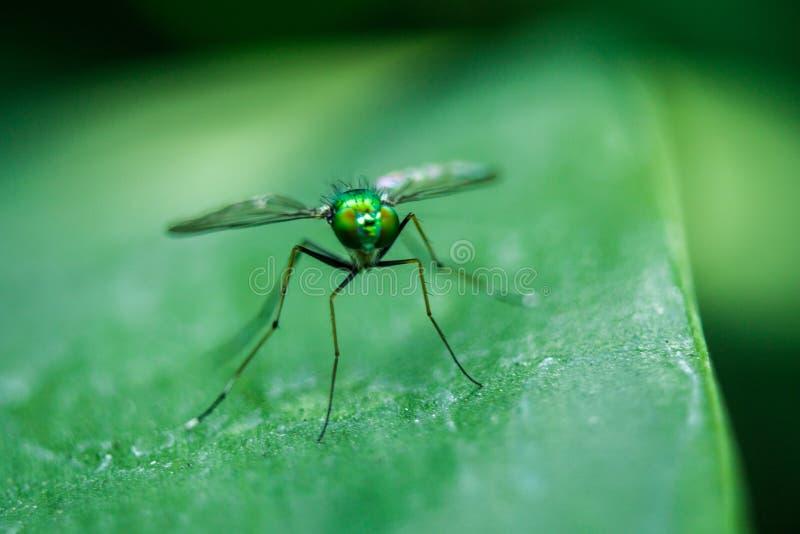 Dolichopodidae nas folhas ? corpo pequeno, verde imagem de stock
