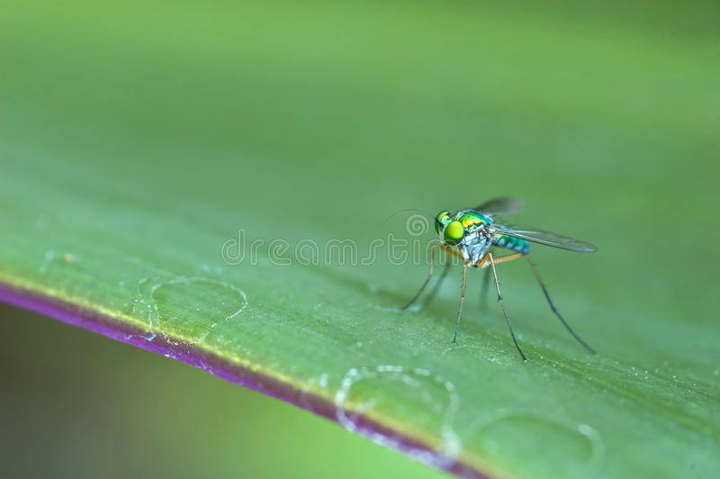 Dolichopodidae op het blad stock fotografie