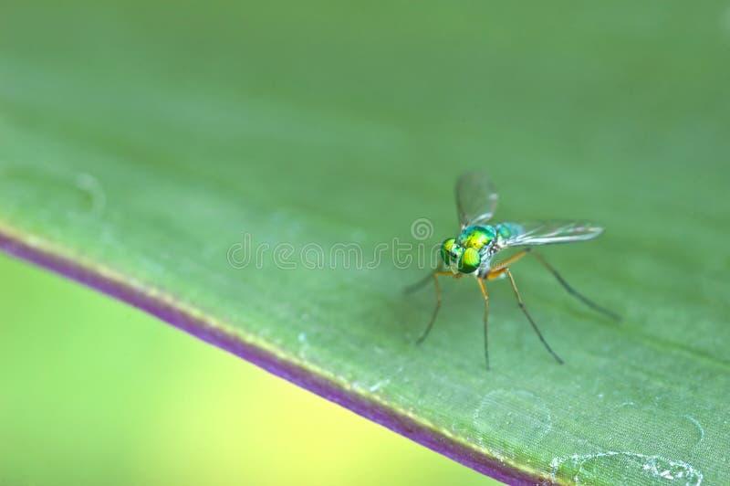 Dolichopodidae op het blad stock foto