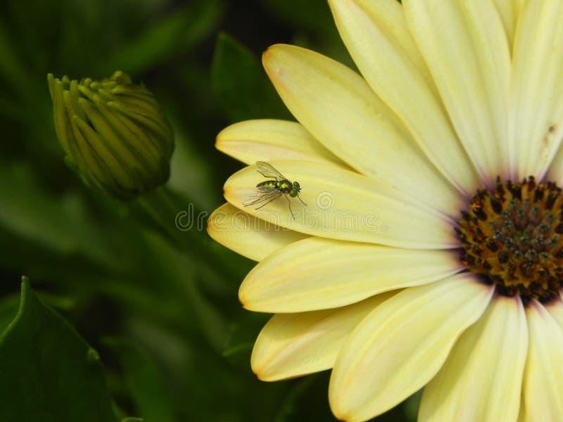 Dolichopodidae op madeliefje royalty-vrije stock fotografie
