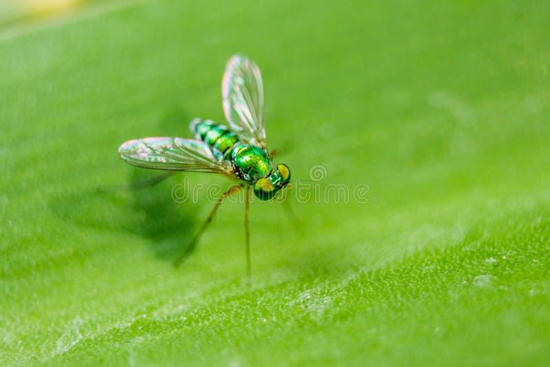 Dolichopodidae på sidorna med en liten grön kropp arkivfoto