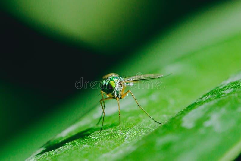 Dolichopodidae sulle foglie ? piccolo, ente verde fotografie stock libere da diritti