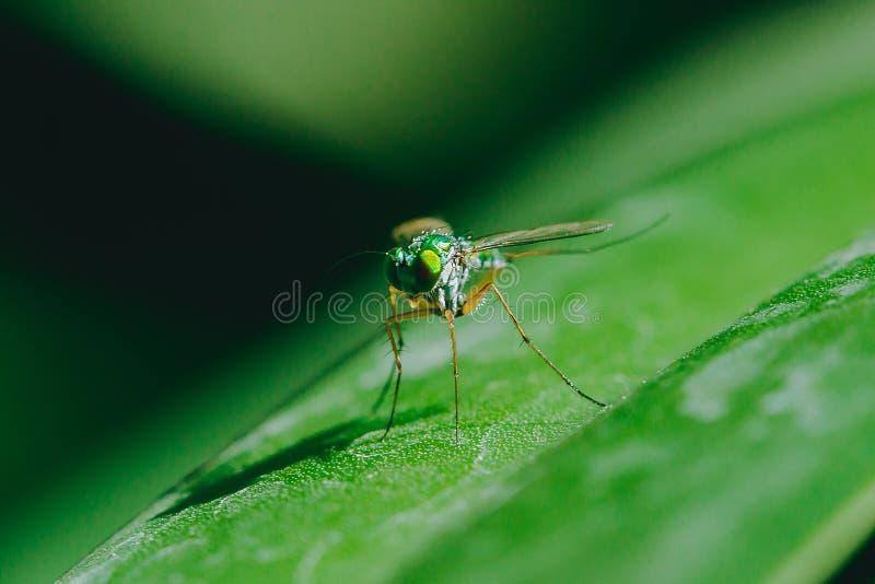 Dolichopodidae sulle foglie ? piccolo, ente verde immagini stock