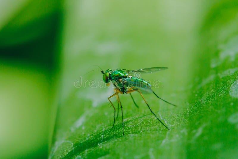 Dolichopodidae sulle foglie ? piccolo, ente verde immagine stock