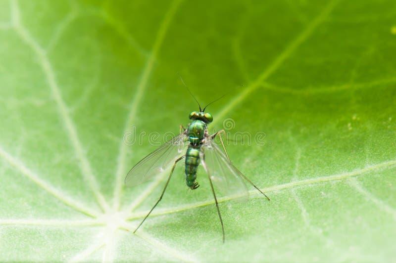 Dolichopodidae stock images