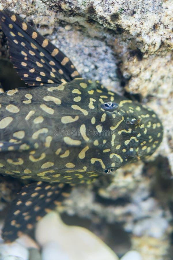 Dolichopterus van de katvisancistrus van Bushymouth van aquariumvissen royalty-vrije stock foto's