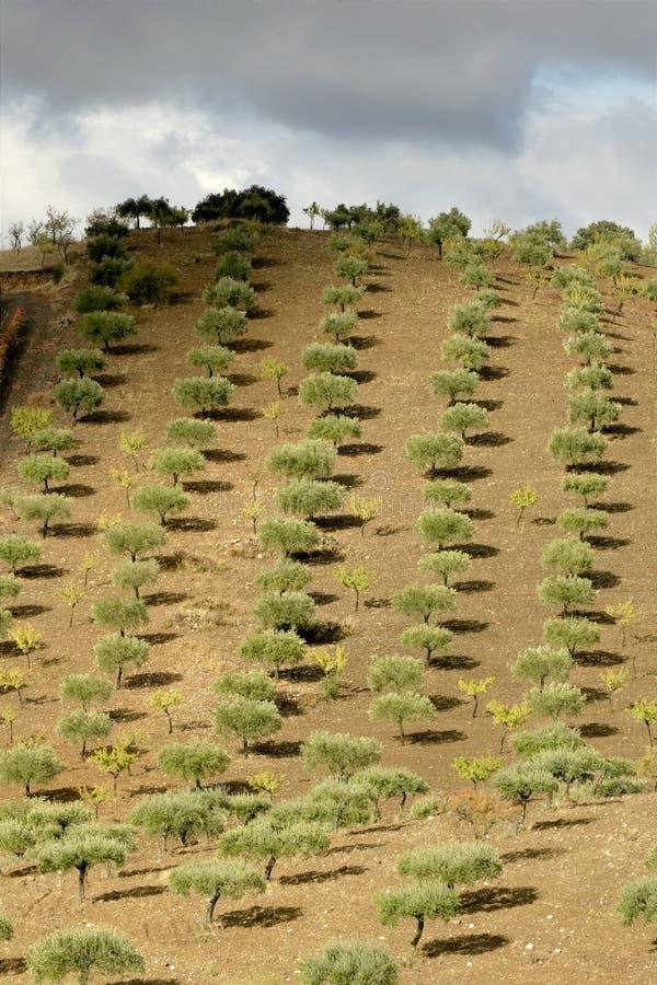 dolinni douro drzewa oliwne obrazy stock