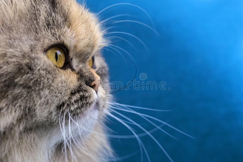 Doll Face Persian Cat Portrait stock photography