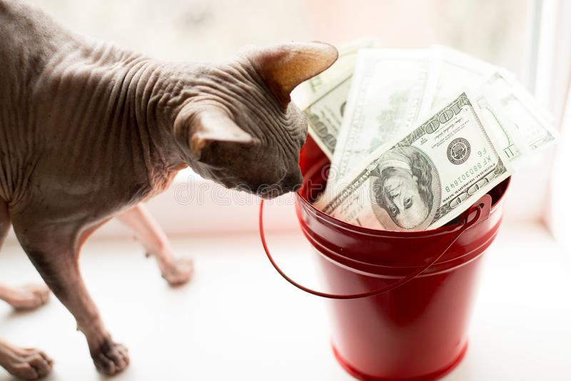 Dollar bills in red pail and gray cat on white window.light background. top view. a lot of money with sphynx.  stock photos