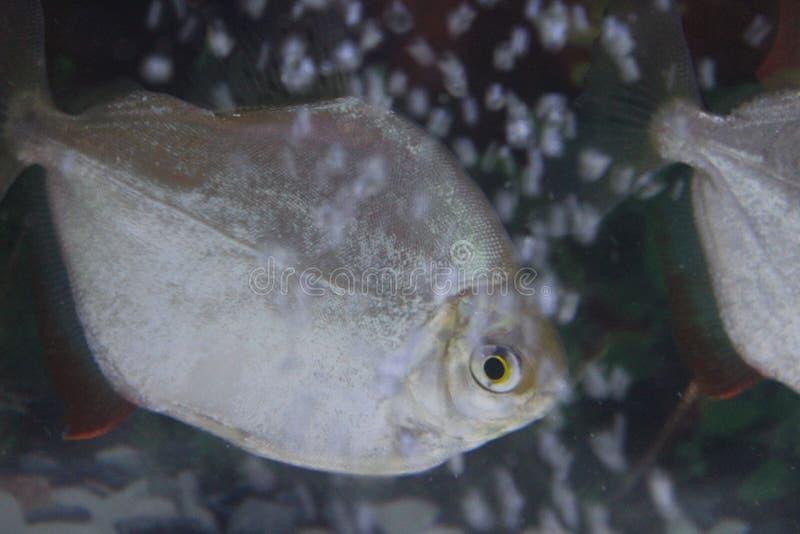 Dollarfische zwischen den Blasen stockfoto
