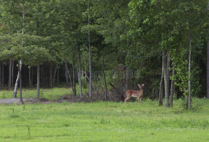 Dollaro dei cervi di Whitetail che esamina qualcosa dagli alberi fotografie stock