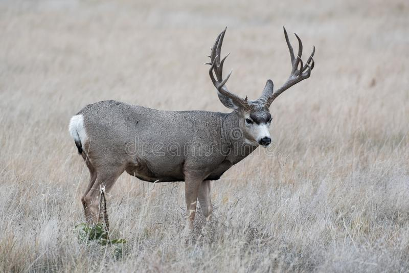 Dollaro dei cervi muli - cervo selvaggio sulle alte pianure di Colorado immagine stock