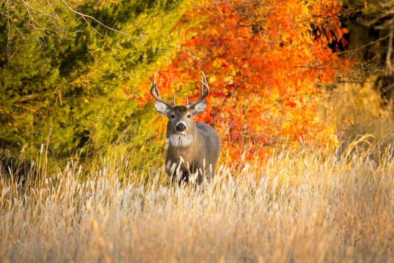 Dollaro del Whitetail di Kansas su un'alba calda di mattina di autunno fotografia stock