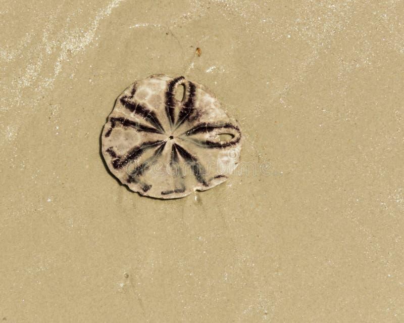 Dollaro di sabbia (biscotto del mare o biscotto dello snapper) sulla spiaggia fotografie stock libere da diritti