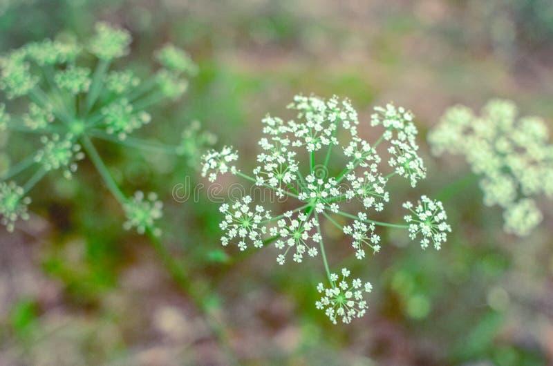 Dollekerveltak met uiterst kleine witte bloemen in de lente met een gebladerteachtergrond stock foto's