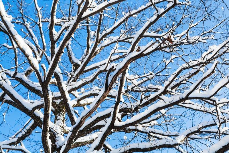 dolny widok śnieżyste gałąź dębowy drzewo zdjęcia royalty free