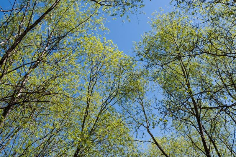Dolny widok drzewo wierzchołki w młodej wiośnie opuszcza, aspirować oddolny zdjęcie stock
