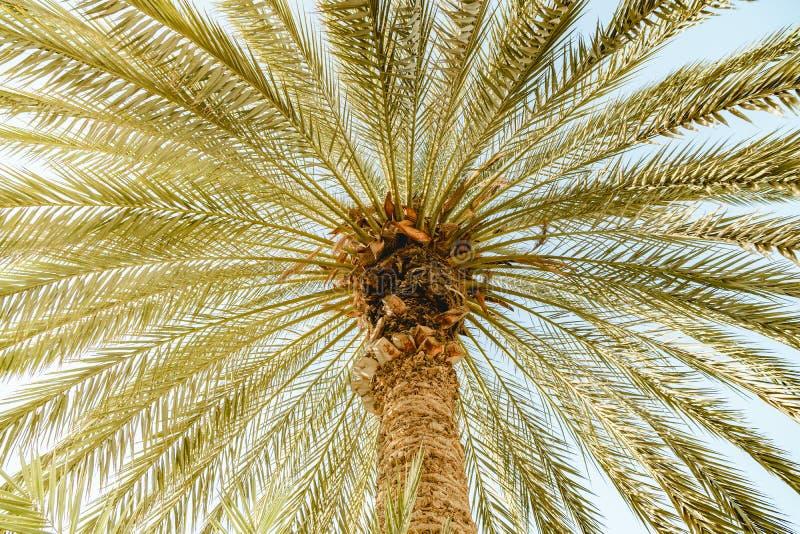 Dolny widok na drzewku palmowym z zielonymi liśćmi obrazy royalty free