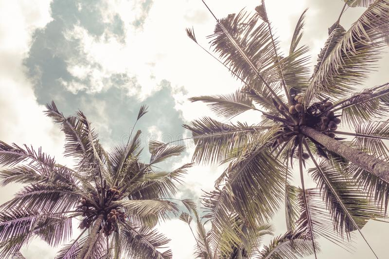 Dolny widok palmowi koron drzewa przeciw niebieskiemu niebu ? inematic retro lata tropikalny tło Puszyści palma liście obrazy royalty free
