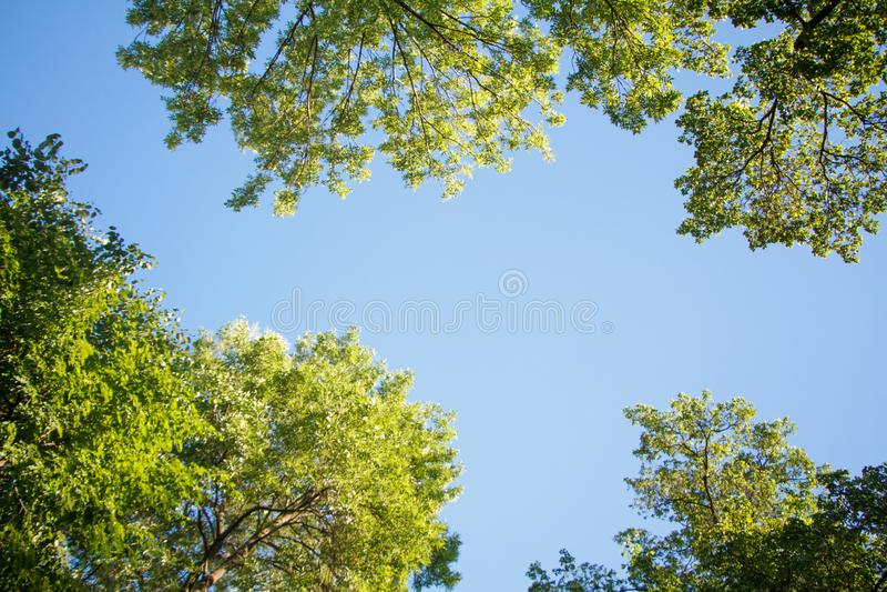 Dolny widok zielony drzewo wierzchołek w lasowym niebieskim niebie i słońcu promienieje jaśnienie przez liści zdjęcia stock