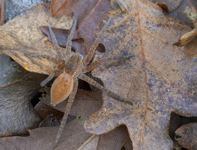 Dolomedes SP, waarschijnlijk plantariussinaasappel Pisauridae Aka visserij, vlot, dok of werfspin Italië stock afbeeldingen