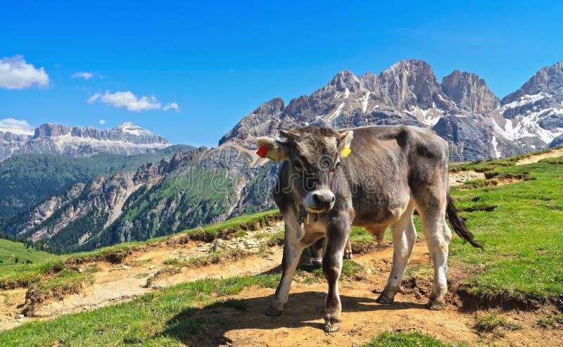 Dolomiti - łydka na wysokogórskim paśniku obrazy stock